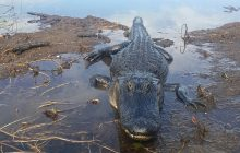 Everglades best airboat tour: meet the alligators in florida!